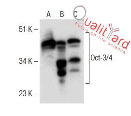 Oct-3/4 Antibody (C-10)