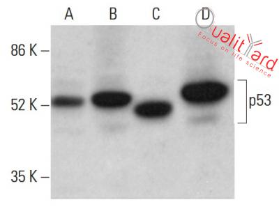 p53 Antibody (DO-1)