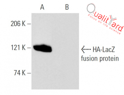 HA-probe Antibody (F-7)