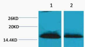 Histone H1 (Di Methyl Lys25) Polyclonal Antibody