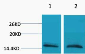 Histone H3 (Mono Methyl Arg26) Polyclonal Antibody