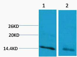 Histone H3 (Mono Methyl Arg17) Polyclonal Antibody