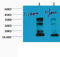 Histone H3 (Mono Methyl Lys79) Monoclonal Antibody(1E10)