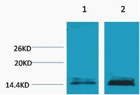 Histone H3 (Mono Methyl Lys18) Polyclonal Antibody