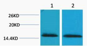 Histone H2B (Tri Methyl Lys43) Polyclonal Antibody
