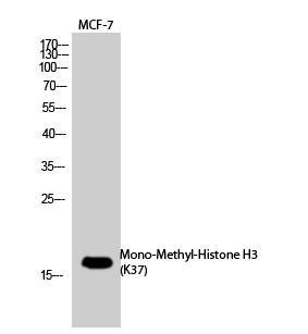 Histone H3 (Mono Methyl Lys37) Polyclonal Antibody