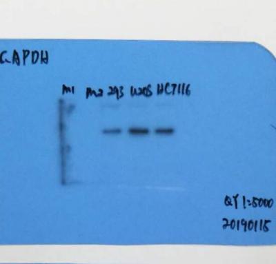 GAPDH Monoclonal Antibody