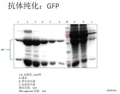 蛋白AG抗体纯化试剂盒 Protein AG Antibody Purification Kit